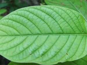 green-vein-kratom-300x225