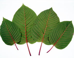 red-vein-thai-kratom-leaf